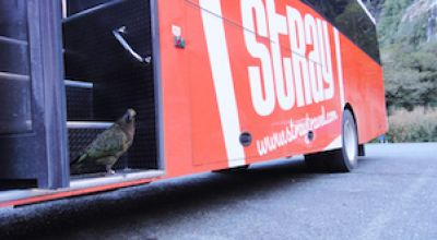mt cook kea on stray bus